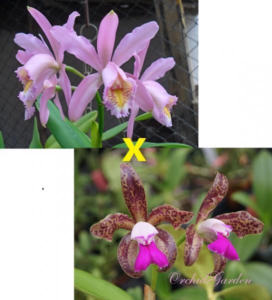 Cattleya Venosa x leopoldii