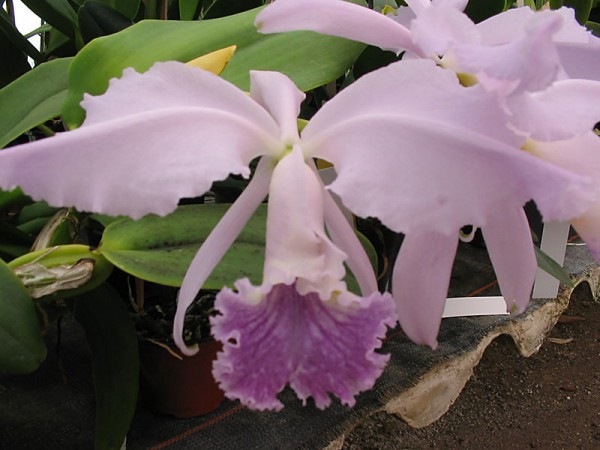 Cattleya warneri var. Coerulea
