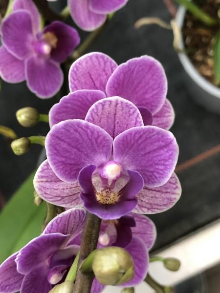 "Phalaenopsis Sogo Vivien ""Violet Queen"""