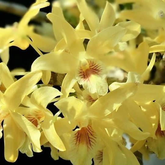 "Dendrobium Stardust ""Chiyomi"""