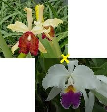 Cattleya Mrs. G.E. Baldwin