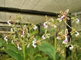 Epidendrum cristatum x self