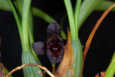 Maxillaria schunkeana