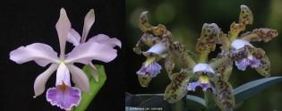 Cattleya (Whitei Coerulea x schilleriana var. Coerulea)