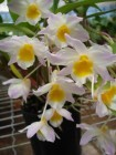 Dendrobium (Mousmee x densiflorum) x bronckartii)