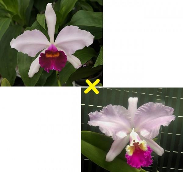 Cattleya Dr. R. Schiffmann (Callistoglossa x mendelii)