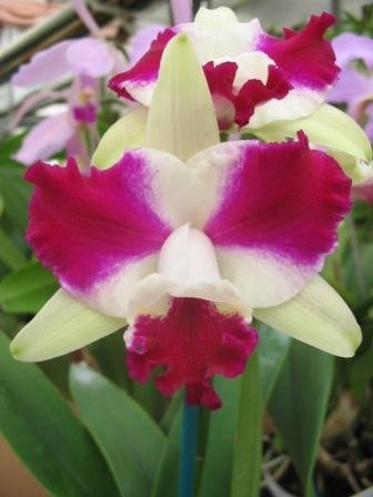 "Lc. Purple Cascade ""Fragrant Beauty"""
