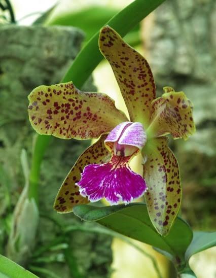 Cattleya schilleriana x granulosa