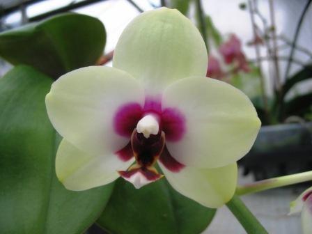 """Phalaenopsis Nobby´s Shadowy """"Nobby"""""""