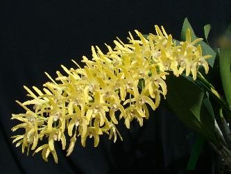 """Dendrobium speciosum var. Curvicaule """"Palmerstone"""" x self (2064)"""