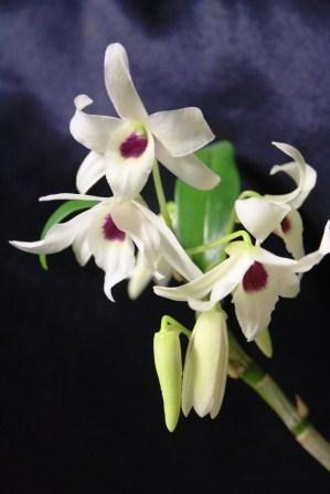 """Dendrobium Cassiope """"Alba"""""""