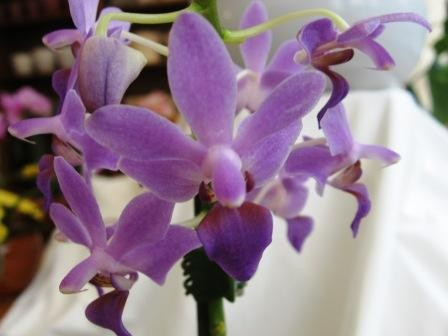 Doritaenopsis Purple Gem