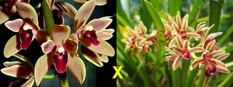 Cymbidium Cricket x aloifolium