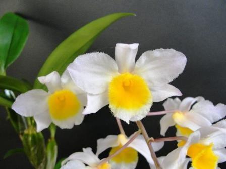 Dendrobium Mem. Christa Erdmann