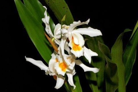 Coelogyne Linda Buckley
