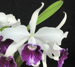 "Laelia purpurata var. Semi Alba (""Chaves"" x ""Otto"")"