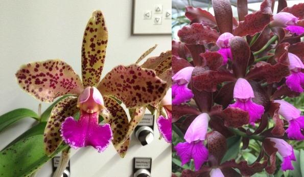 "Blc. (Durigan x granulosa) ""Pintada rosada"" x Cattleya leopoldii ""Escuro Negro Pintada"""