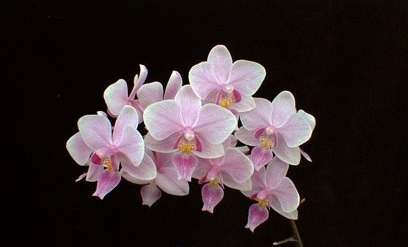 Phalaenopsis Veitchiana