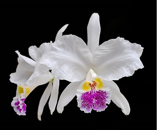 Cattleya lueddemanniana Coerulea x Vinicolor