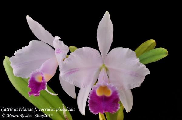 "Cattleya trianae var. Coerulea pincelada (""Hektor"" x ""Mejesto"")"