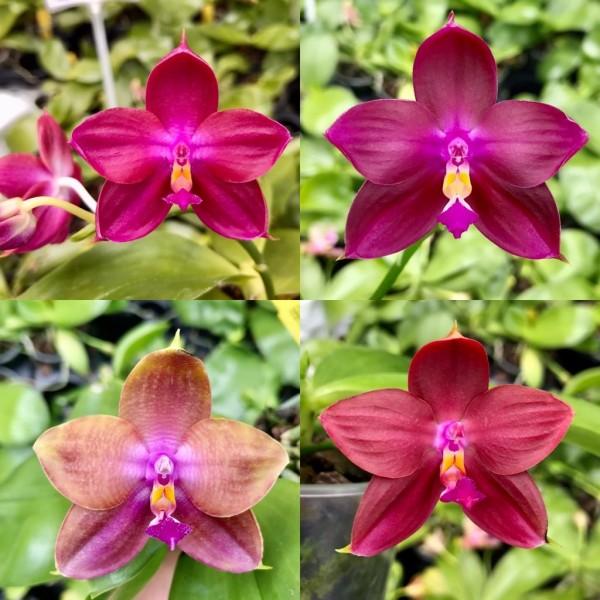 Phalaenopsis (Tying Shin Fly Eagle x violacea)`Pure Red´x Ld´s Bear King `RK3´