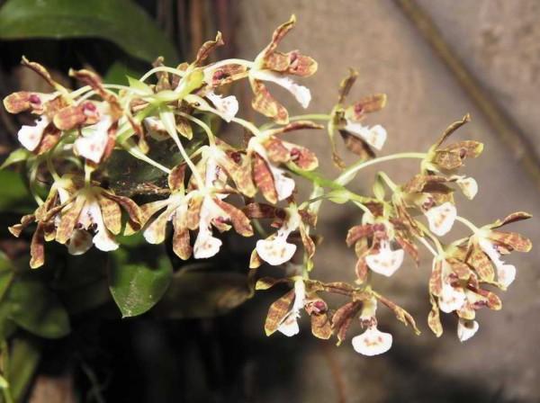 Solenidium lunatum