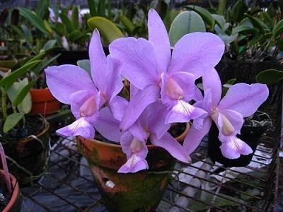 Cattleya nobilior var. Coerulea