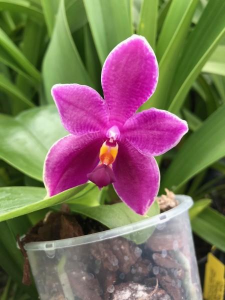 Phalaenopsis (Encarnada de Caso x George Vasquez) x bellina