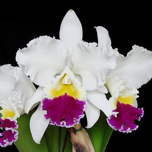 "Lc. Miki Nagata ""Orchidlibary"""