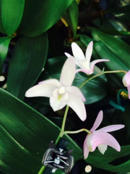 Dendrobium kingianum x speciosum var. periculatum