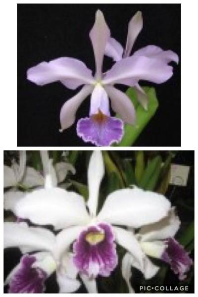 """Laelia purpurata """"Aco"""" x Cattleya Whiteyi """"Coerulea"""""""