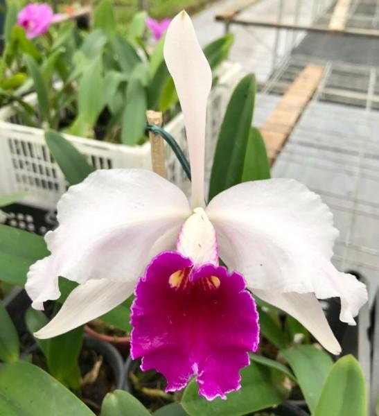 Cattleya lueddemanniana var. Coerulea x Laelia purpurata var. Werkhaeuseri