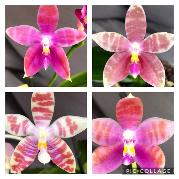 Phalaenopsis Corning-Ambo x (speciosa x corningianan)