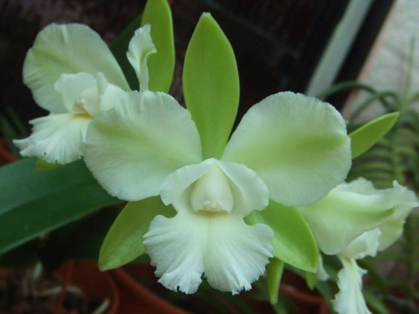 "Cattleychea (Epc.) Siam Jade ""Ontario"""