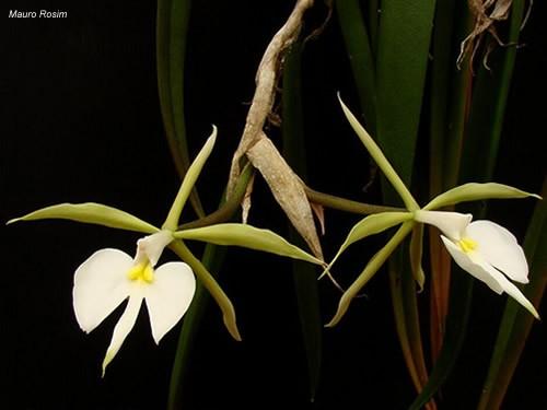 Epidendrum parkinsoniana