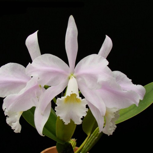 "Cattleya warneri ""Santa Teresa"""