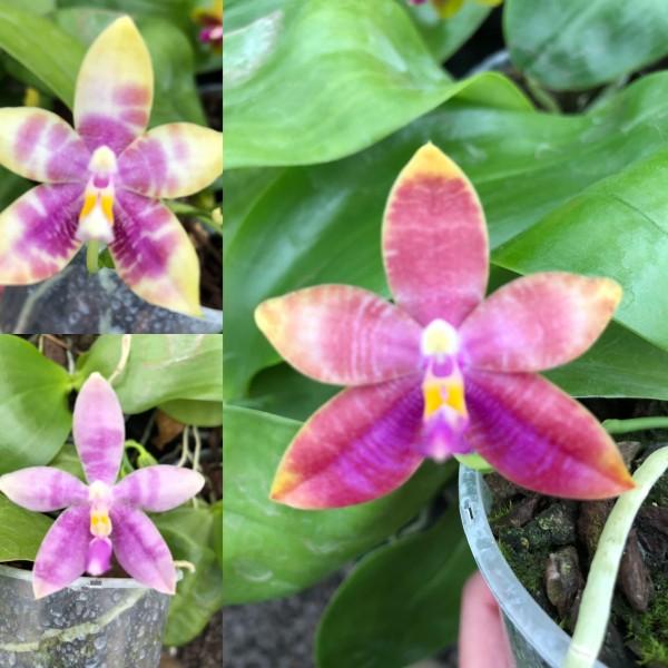 "Phalaenopsis Princess Kaiulani ""Flava"" x (speciosa x corningiana) ""Red"""
