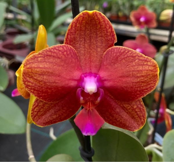 "Phalaenopsis (Golden Sun x Tying Shin Baby Smile ) x Brother Pepride ""Sophie"""