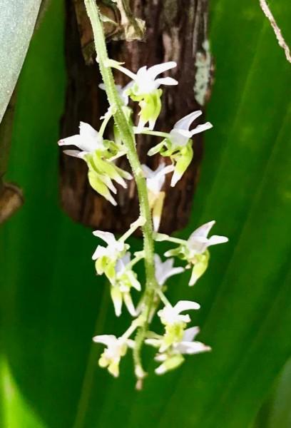 Dipteranthus pellucidus