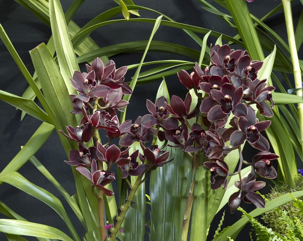 cymbidium cali night geyserland am aos hybrids a e. Black Bedroom Furniture Sets. Home Design Ideas
