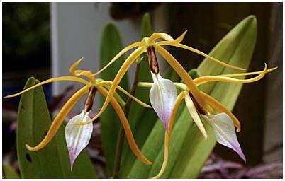 Epidendrum brassavolae