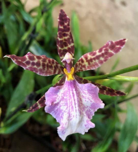"Odontoglossum bictoniense x rossii ""Sang"""