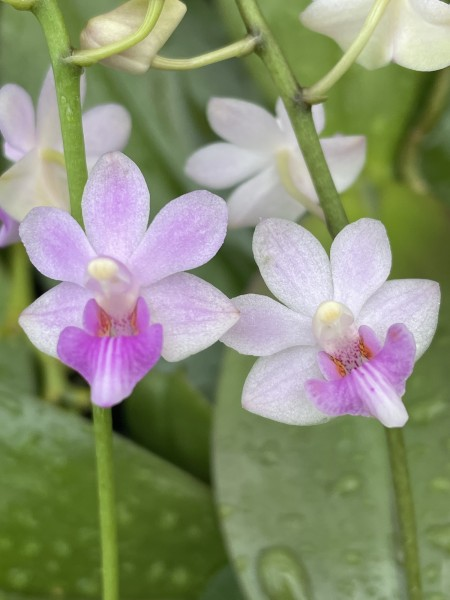 Phalaenopsis pulcherrima alba x deliciosa