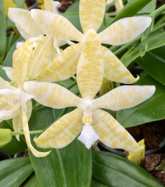 Phalaenopsis hieroglyphica var. Alba