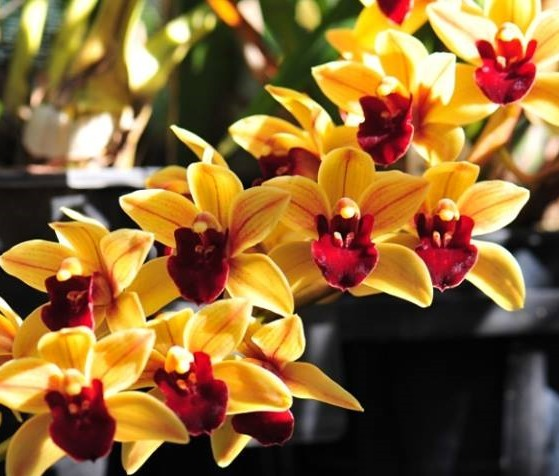"Cymbidium Memoria Marvine Gaye ""Royale"""