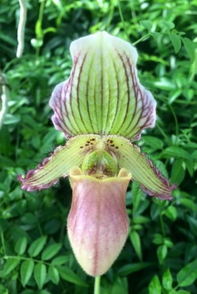 """Paphiopedilum glaucophyllum """"Album"""" x fairrieanum """"Orchidzone"""""""