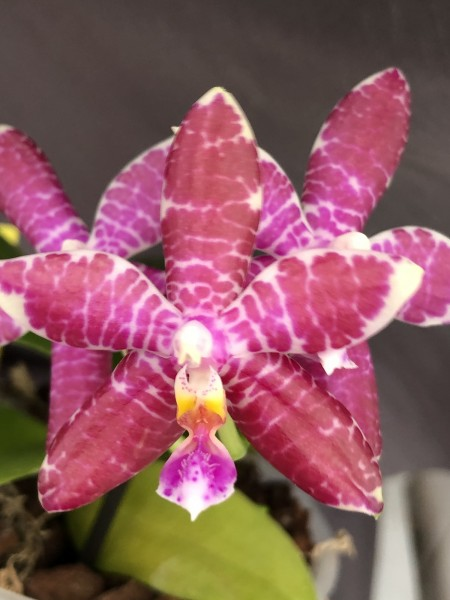 "Phalaenopsis Tying Shin Fly Eagle ""Orange"" x Luedde-violacea"