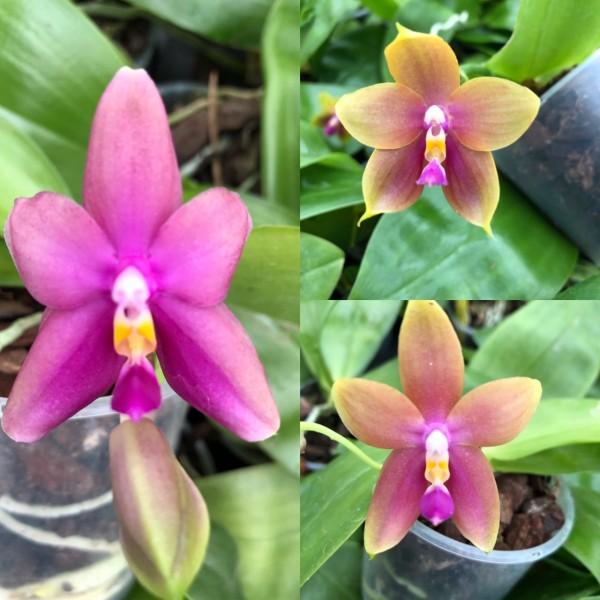 "Phalaenopsis Yaphon Goodboy x bellina ""Rolf"""