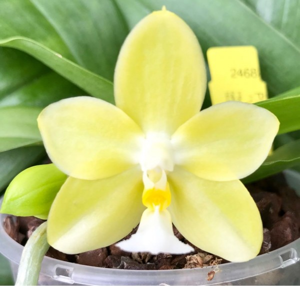 "Phalaenopsis (Yungho Gelb Canary x mannii `flava´)""Green Star"" x Yins Green Jewel ""Golden Acclaim"""
