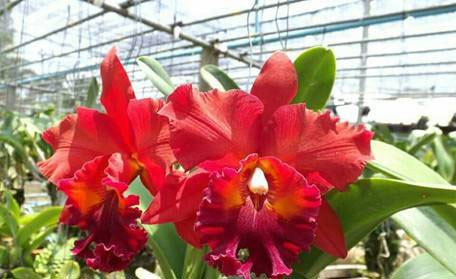 Cattleya Nakornchaisri Red